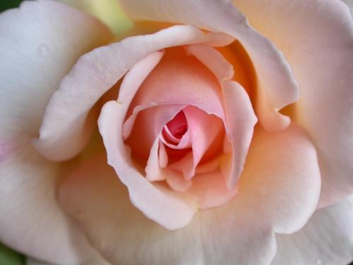 rosa-intera.JPG
