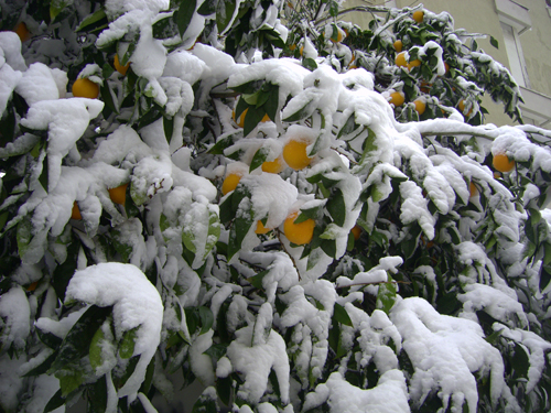 aranci-sotto-la-neve.jpg