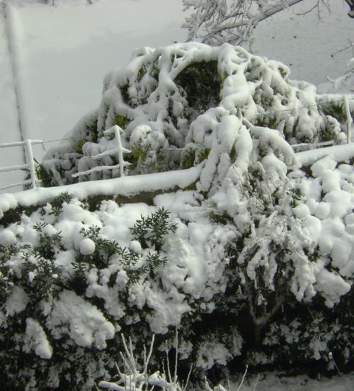 mimosa-sotto-la-neve.jpg
